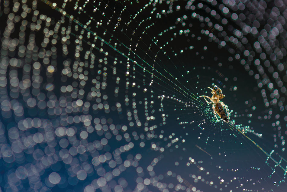 Animal Themes Animal Wildlife Animals In The Wild Close To Nature Close-up Day Dew Drops Dew Drops On Spider Web Fragility Glitter Glitter & Sparkle Glittering Glittering Waters Insect Nature No People One Animal Outdoors Spider Spider Web Survival Trap Web