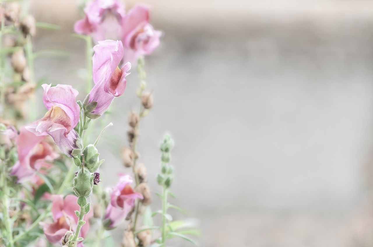 Antirrhinum majus, Scrophulariaceae. Pink Antirrinum Flowers for Wallpaper . Showcase March Springtime Pink Flowers Copy Space Negative Space Garden Photography Pastel Colors
