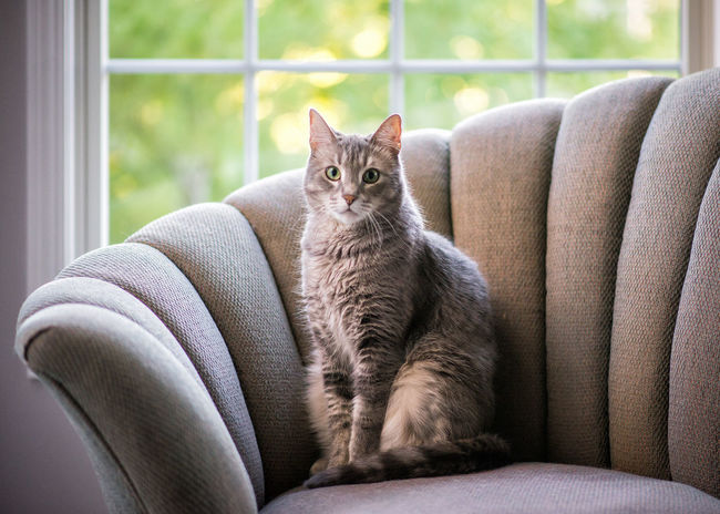 Alertness Animal Hair Animal Themes At Home Cat Curiosity Domestic Animals Domestic Cat Feline Focus On Foreground Indoors  Looking At Camera Mammal One Animal Pets Relaxation Resting Whisker Whiskers