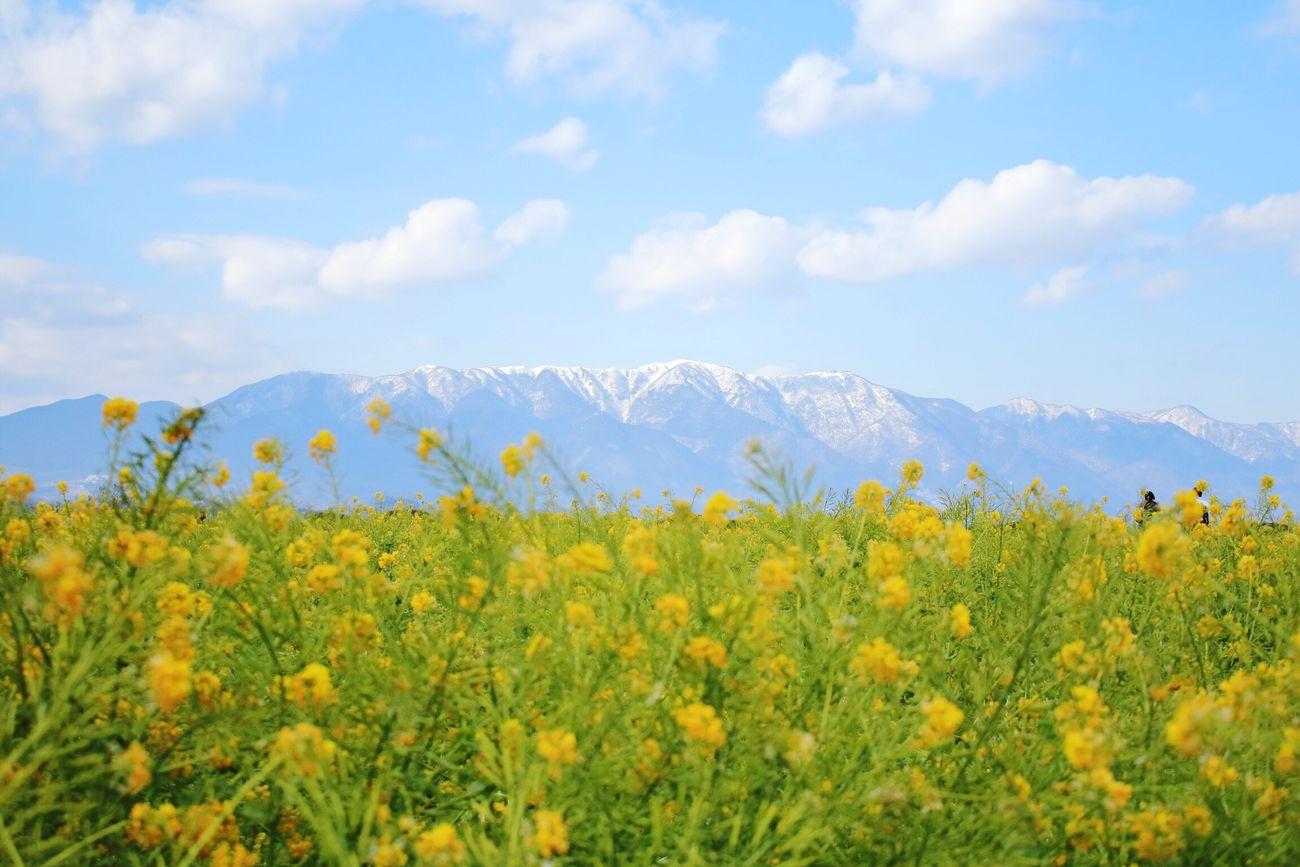 菜の花と雪山 菜の花 雪山