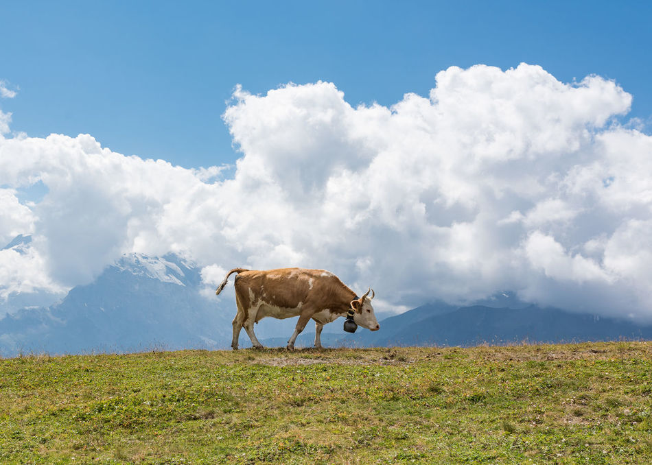 Lone Cow Agriculture Animal Close-up Cloud - Sky Cow Cow Bell Day Environment Grass Landscape Low Angle View Mammal Mountain View Nature No People Outdoors Rural Scene Sky First Eyeem Photo Wengen Switzerland
