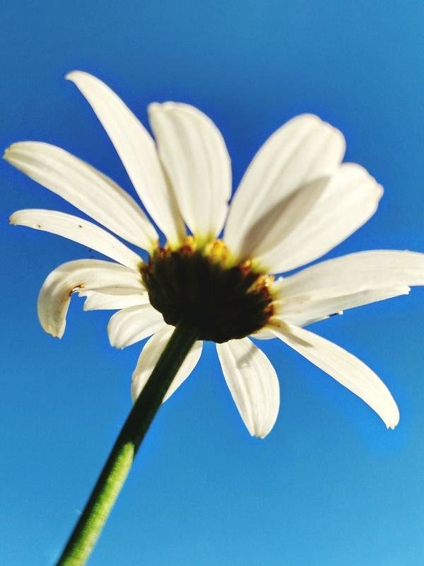 Different Point Of View Different Perspective A Different View Signs Of Summer Daisy Daisy Flower Blue Sky And Flowers Blue Skies Perspective Photography Perspective