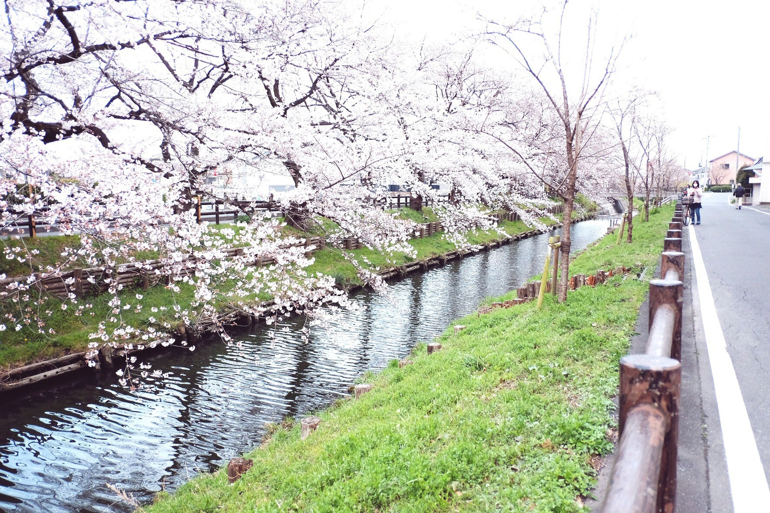 tree, nature, growth, outdoors, day, no people, beauty in nature, tranquility, cherry tree, flower, branch, cherry blossom, cultures, water, sky