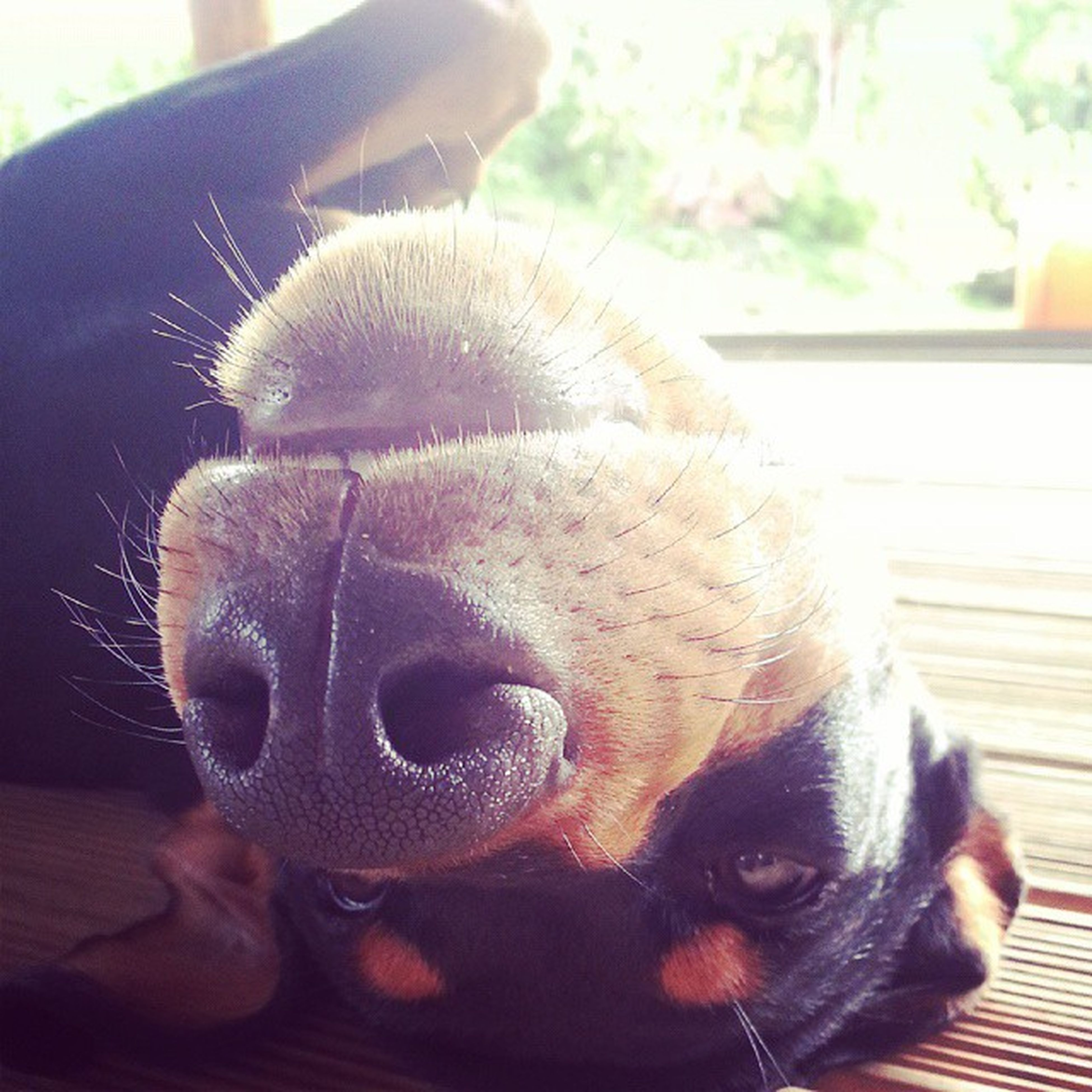 domestic animals, pets, animal themes, mammal, one animal, dog, close-up, animal head, focus on foreground, indoors, relaxation, animal body part, snout, no people, lying down, resting, home interior, eyes closed, animal nose, day