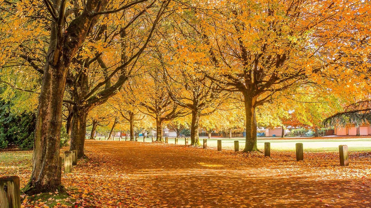Autumn in Vancouver!! Tree Autumn Nature Beauty In Nature Outdoors Sunlight Leaf Scenics Park Vancouver Beautiful Amazing Street Tranquility First Eyeem Photo