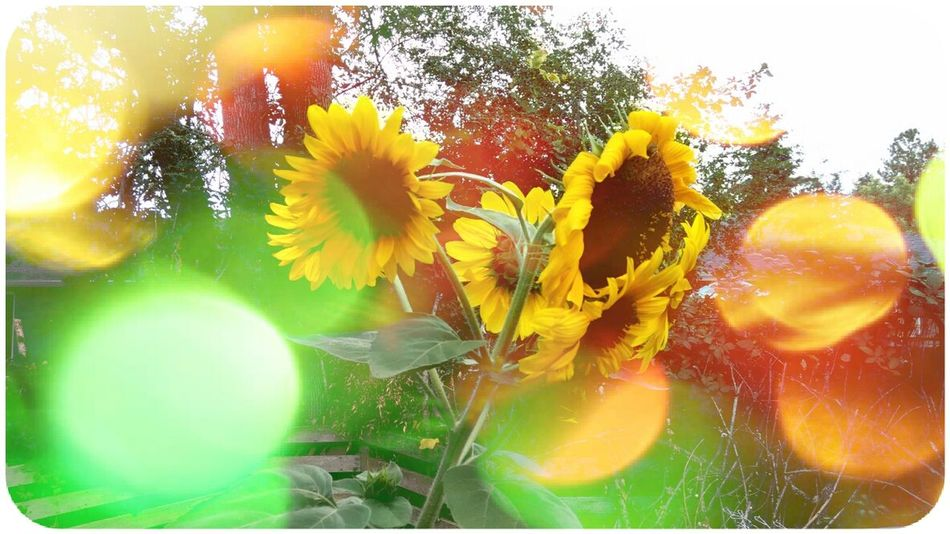 Flower Fragility Freshness Auto Post Production Filter Plant Glass - Material Close-up Growth Stem Flower Head Multi Colored Petal Lens Flare Beauty In Nature Nature Sun Softness Sunbeam Vibrant Color Day Sunflower Sunflowers Nature My Back Yard