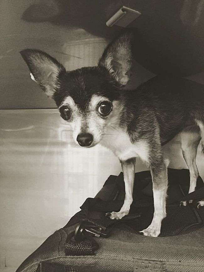 Bella Bella Ra Ra standing on her carrier in the Kennel at Live Oak Animal Hospital in Vero Beach. She's 2 and 1/2 lbs of Pure Terror. Hanging Out Chihuahua Lovers. My Dogs Are Cooler Than Your Kids Chihuahuas<3 Chihuahua Lovers Happy Dogs Chihuahua All Ears Black And White