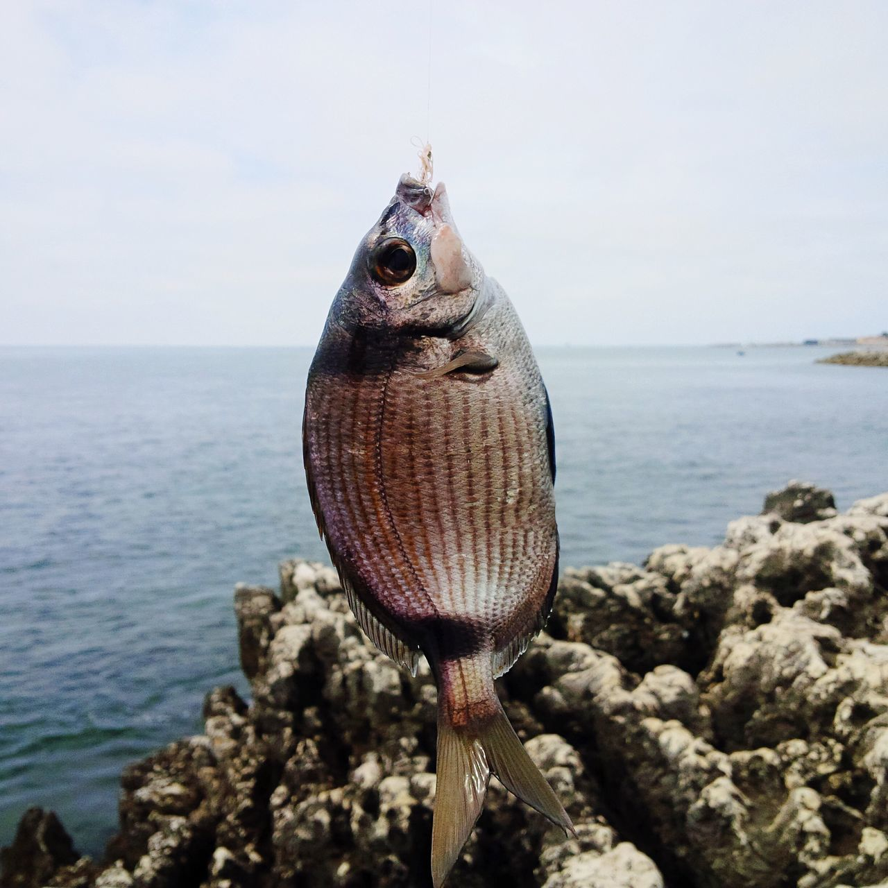 Beautiful stock photos of angeln, Animal Themes, Catch Of Fish, Close-Up, Day