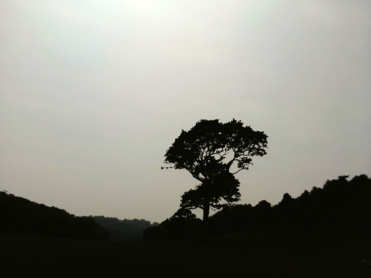 Lonely aok in the meadow Oak Tree Meadow