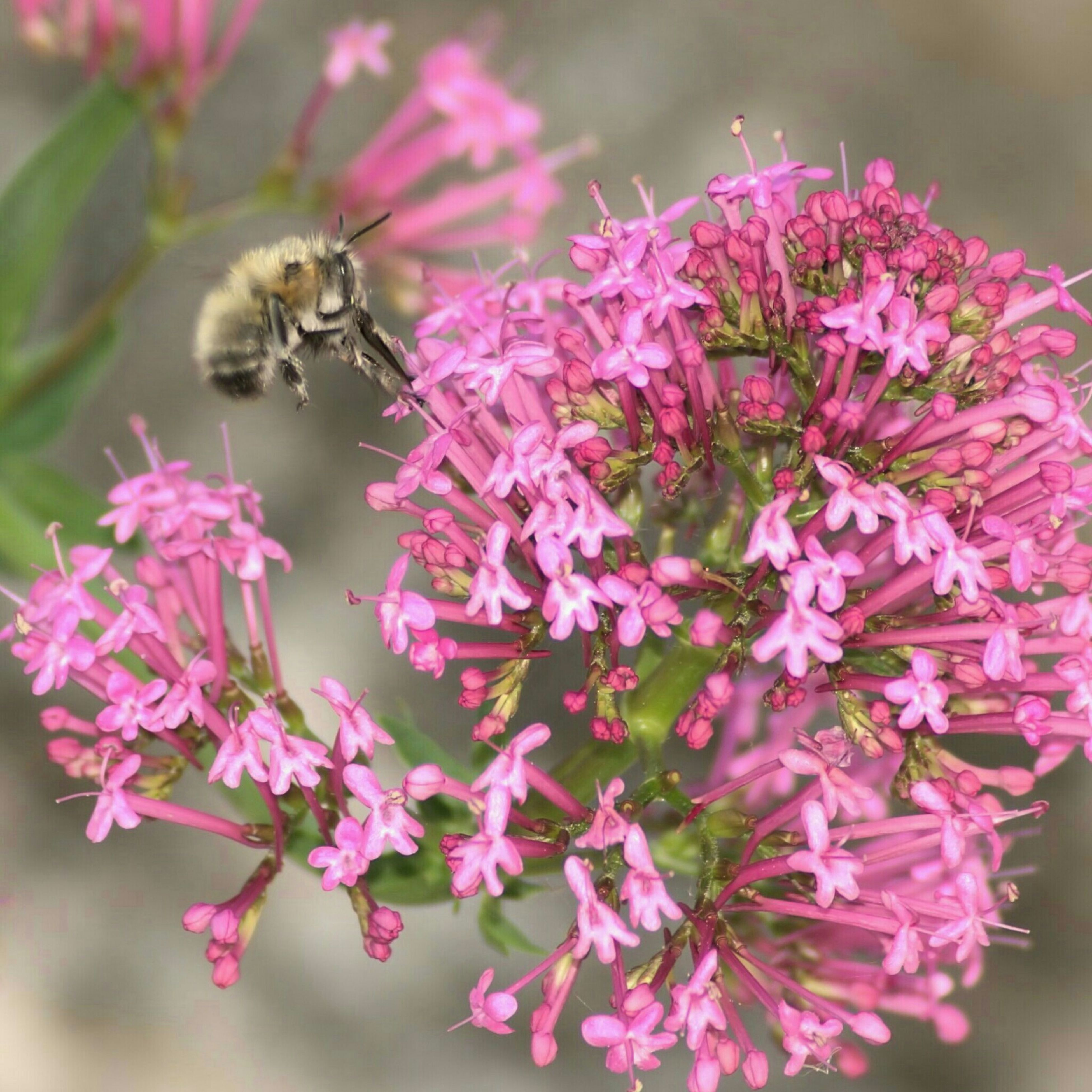 flower, animal themes, animals in the wild, one animal, insect, wildlife, freshness, fragility, pollination, close-up, beauty in nature, focus on foreground, pink color, bee, growth, nature, petal, selective focus, symbiotic relationship, plant