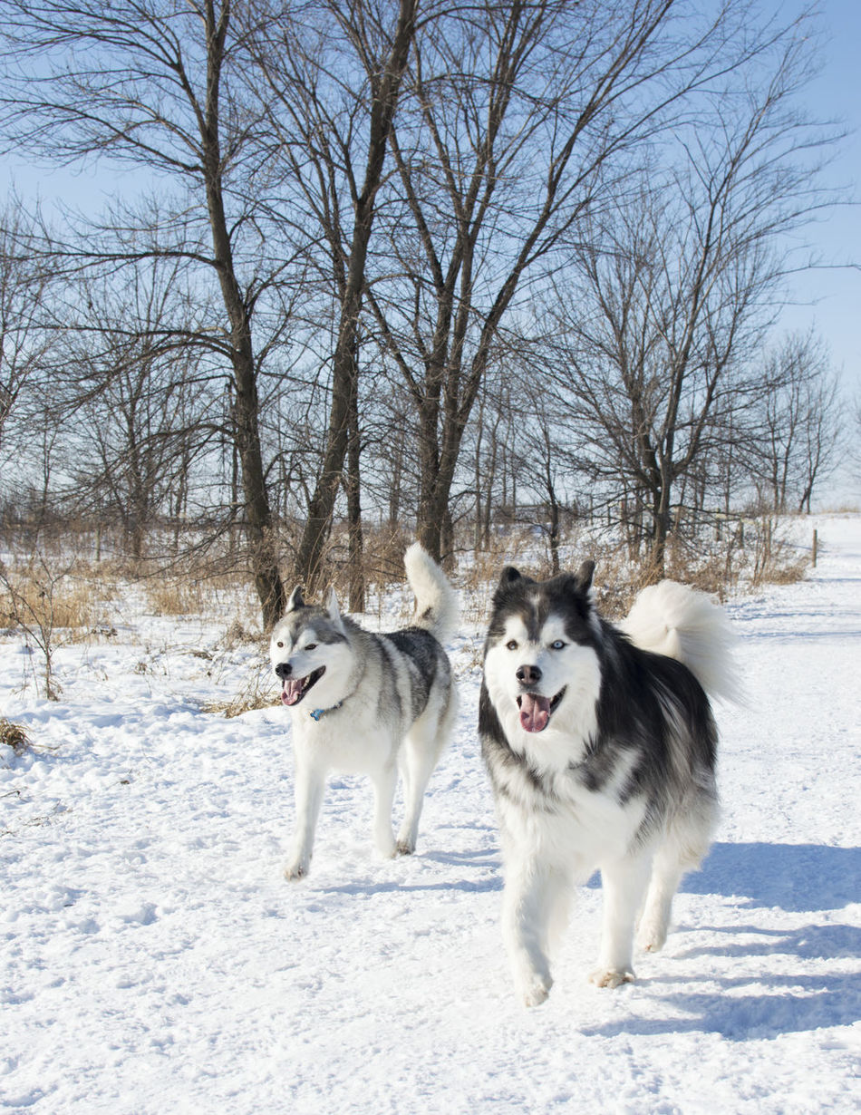 Alaskan Malamute Beauty In Nature Blue Cold Temperature Day Dog Dogs Field Fluffy Husky Malamute Minnesota Minnesota Nature Mn Mouth Open Nature Outdoors Pets Siberian Husky Snow Togetherness Winter Wintertime