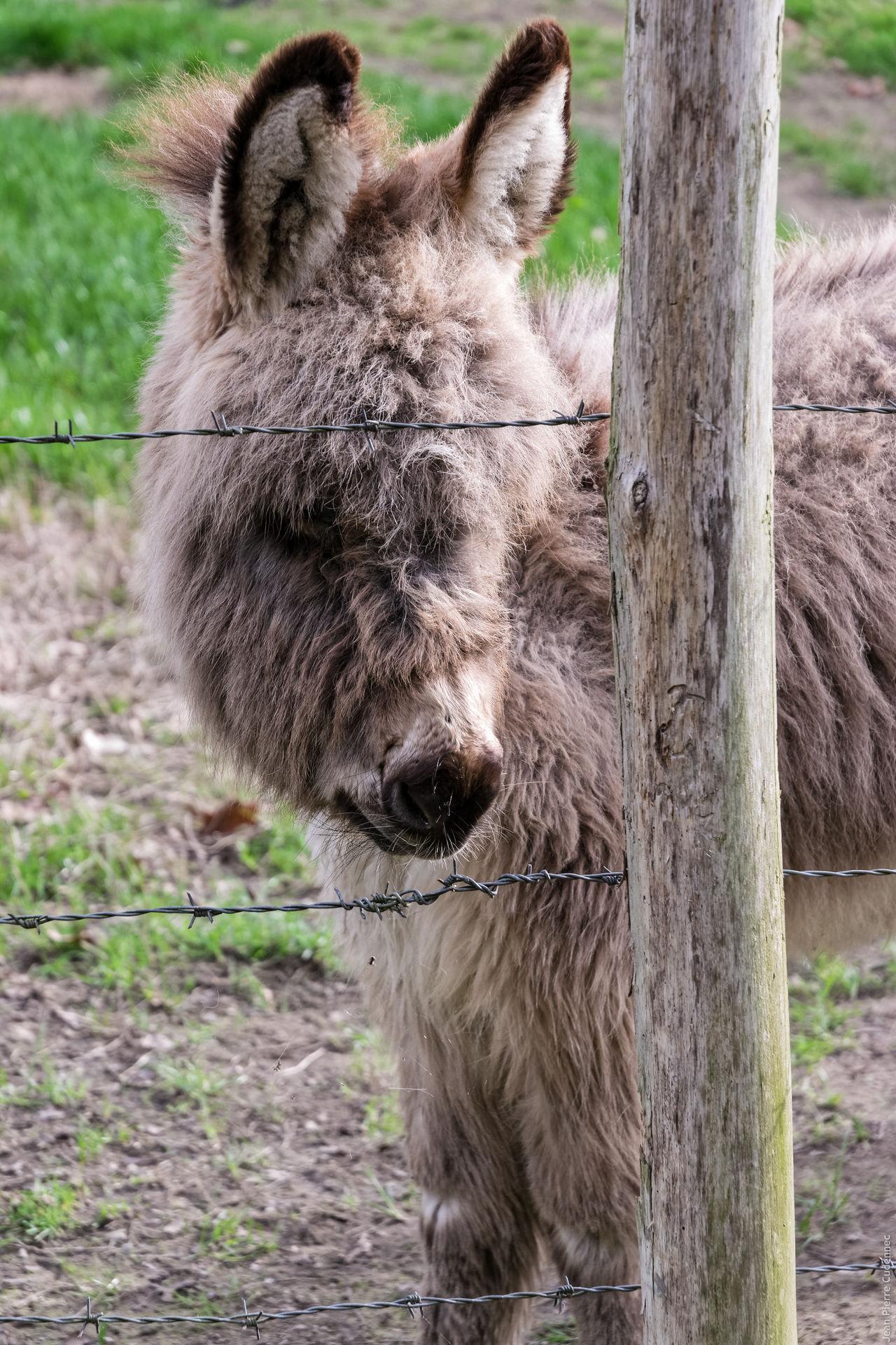 Ânon Animal Animal Themes Animals Baby Animals Close-up Donkey Fur Furry Mammal One Animal Young Animal