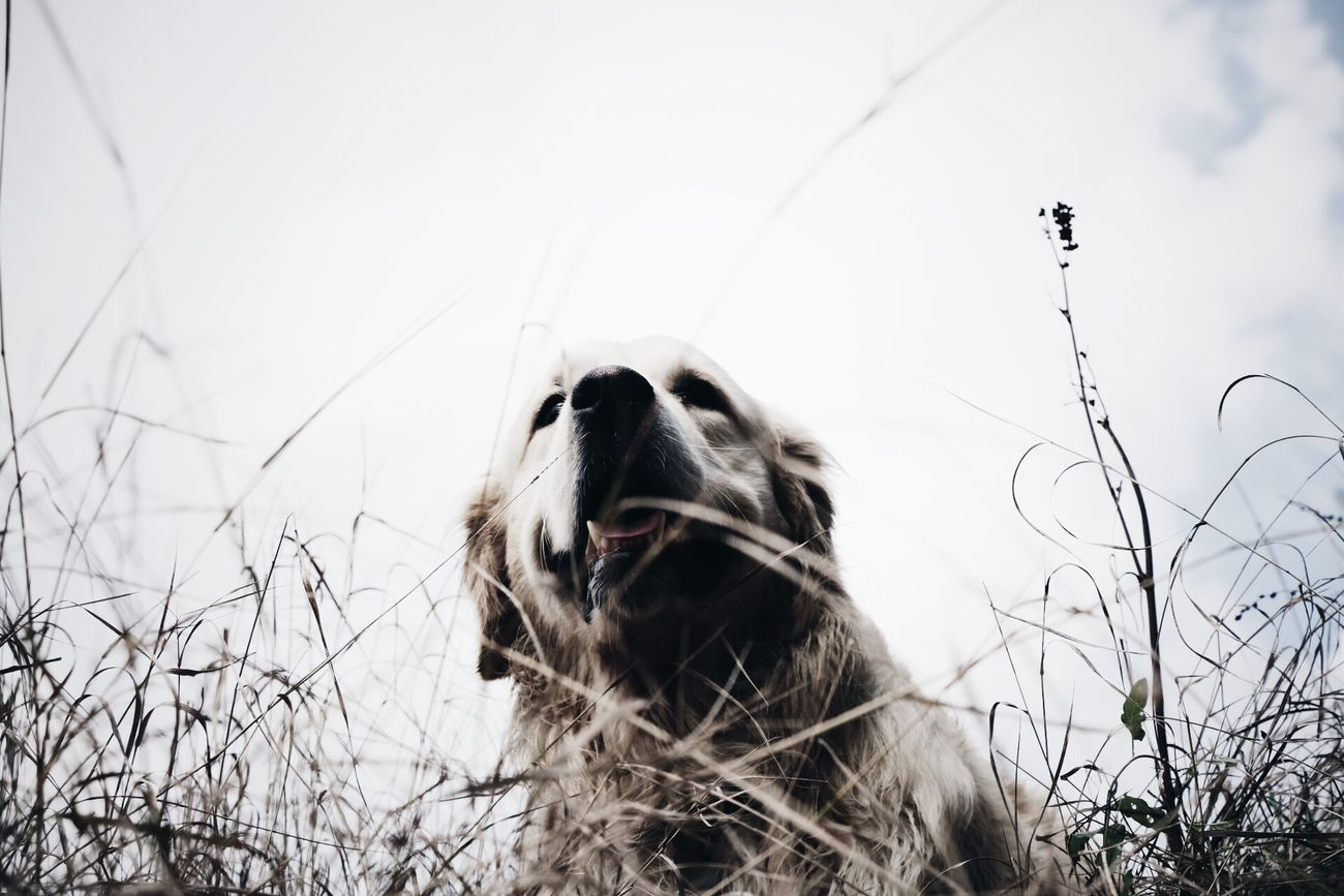 Where is my puppy?! Capturing Freedom Ghiro Golden Retriever EyeEm Dogs My Dog Is Cooler Than Your Kid.