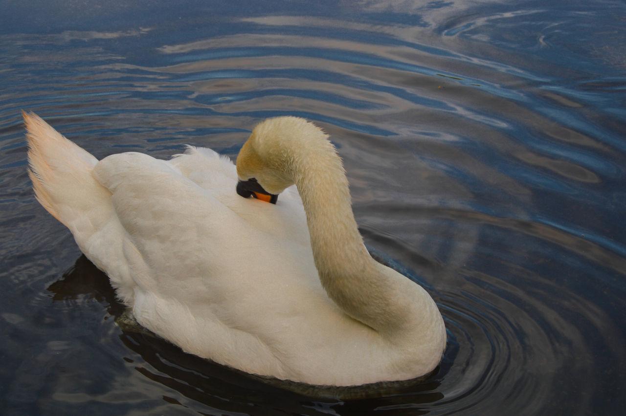 animals in the wild, animal themes, swimming, one animal, lake, swan, bird, animal wildlife, water, water bird, no people, nature, day, waterfront, outdoors, close-up