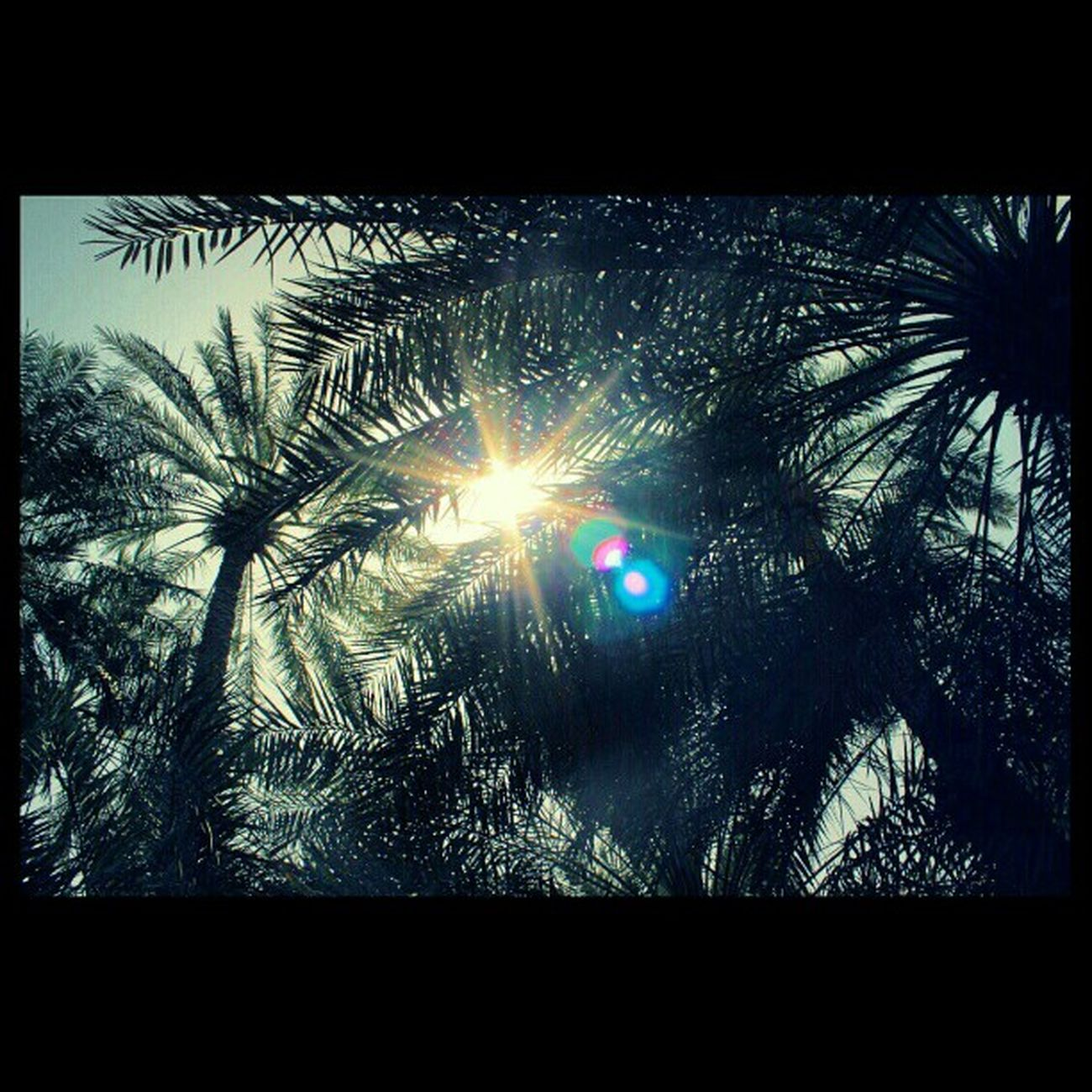 تصويري  نخيل مزرعة Farm Palms Squaready Canond6000 Canon