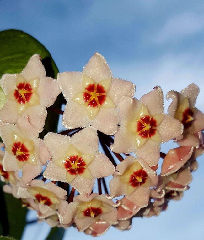 Porcelain Flower Wax Flower Beautiful Flowers Flowerporn Hoya Carnosa Colour Colors Flowerlover