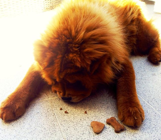 I Love My Dog ❤ Zato ChowChow My Dog