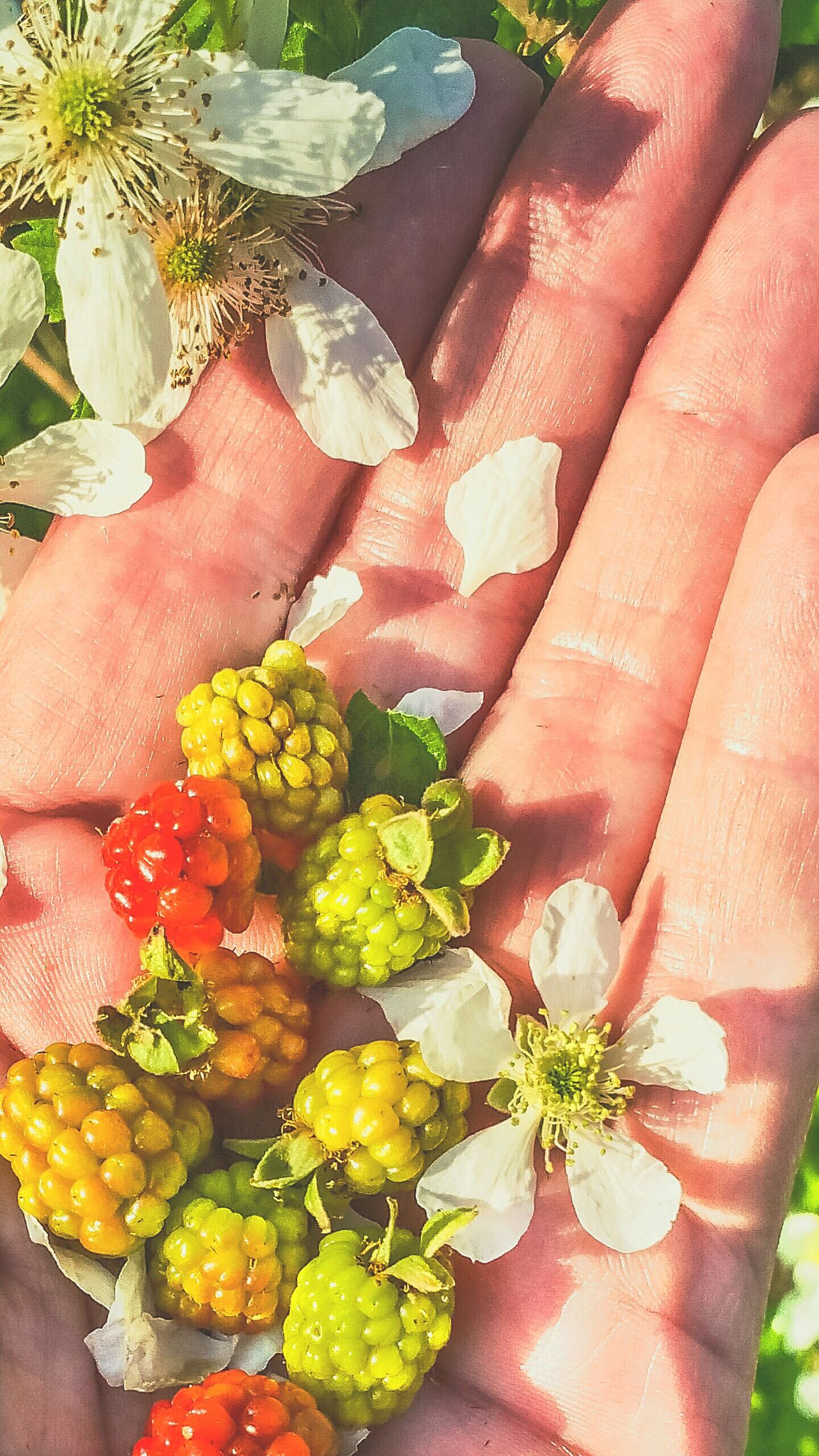 Human Hand Close-up Flower Head Fruit Healthy Eating Freshness Outdoors Flower Food Leaf Day Nature Wild Bunch Ready-to-eat Berry Fruit Dew Berries Variation Wild Blackberries Personal Perspective Growth High Angle View Blackberry Group Women Visual Feast