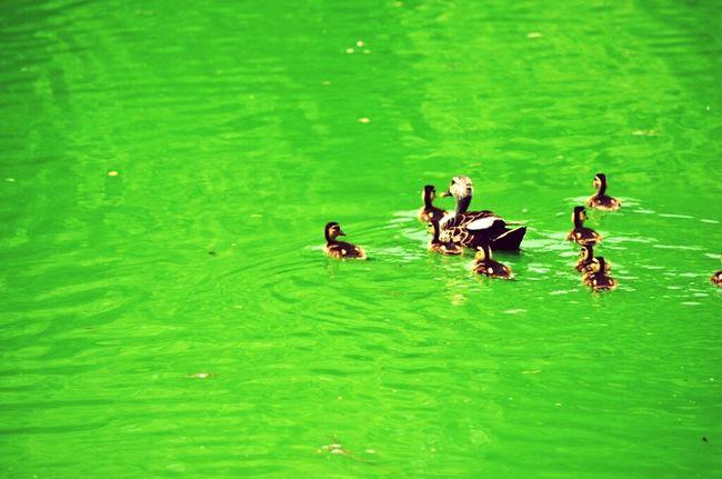 Ducklings at the Hauz Khas Village in Delhi. Hauzkhasvillage Lake Ducks Water Swimming Green Color Nature Newdelhi