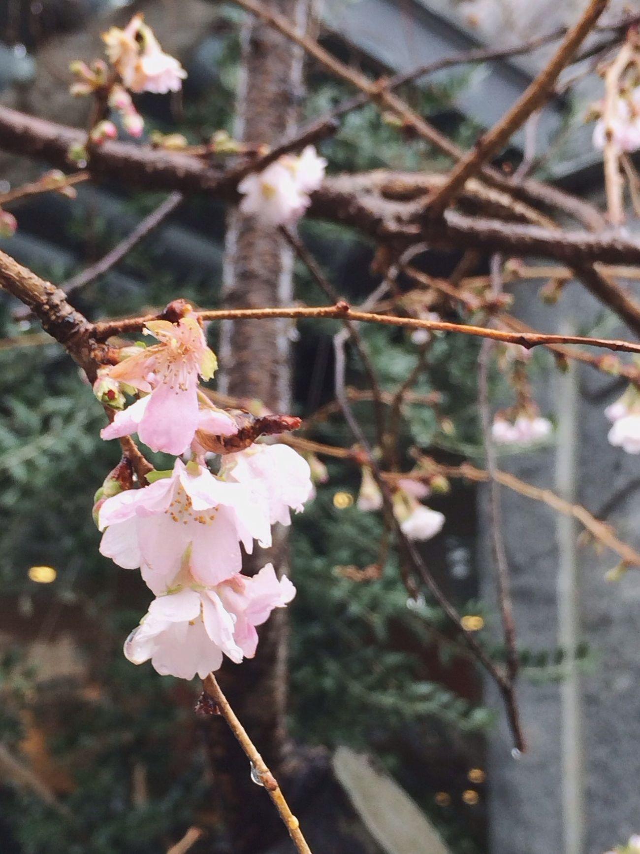 見つけた…冬桜。 Urban Nature Sakura