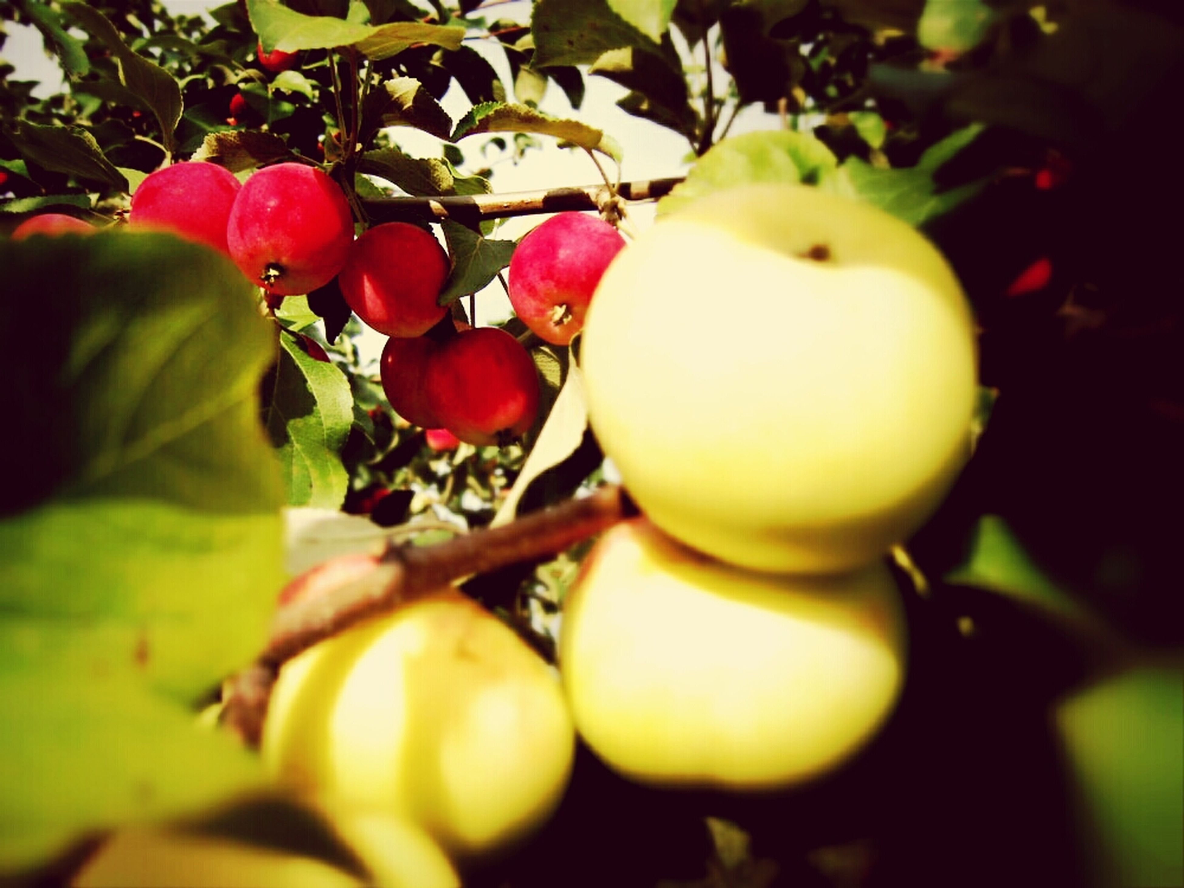 food and drink, freshness, fruit, growth, healthy eating, close-up, food, leaf, tree, branch, focus on foreground, plant, hanging, nature, selective focus, no people, stem, day, ripe, growing