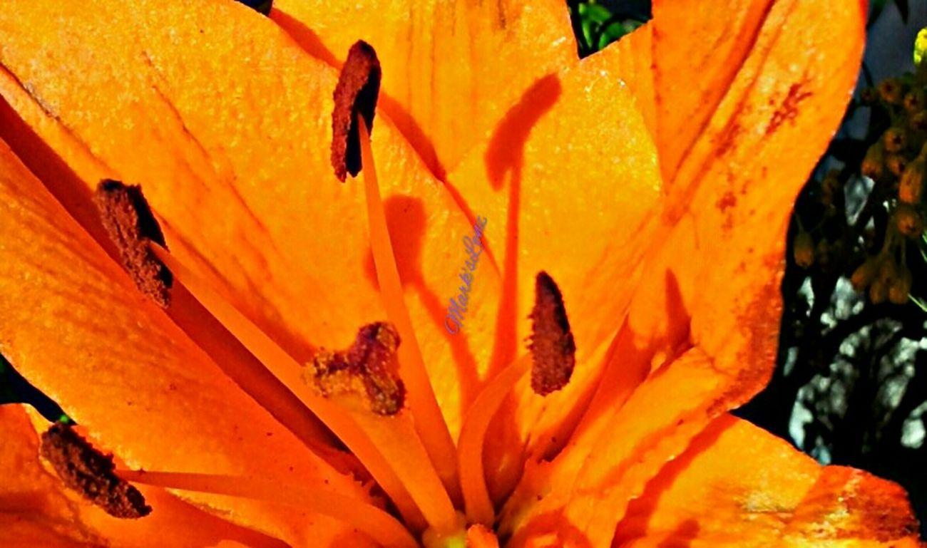 Sunshine on Orange Lilly Flower Taking Photos Fotodroiding Shadow Andrography Orange Photography Droidography Android Phoneography Lightbox Andrographer Droidographer Flowers