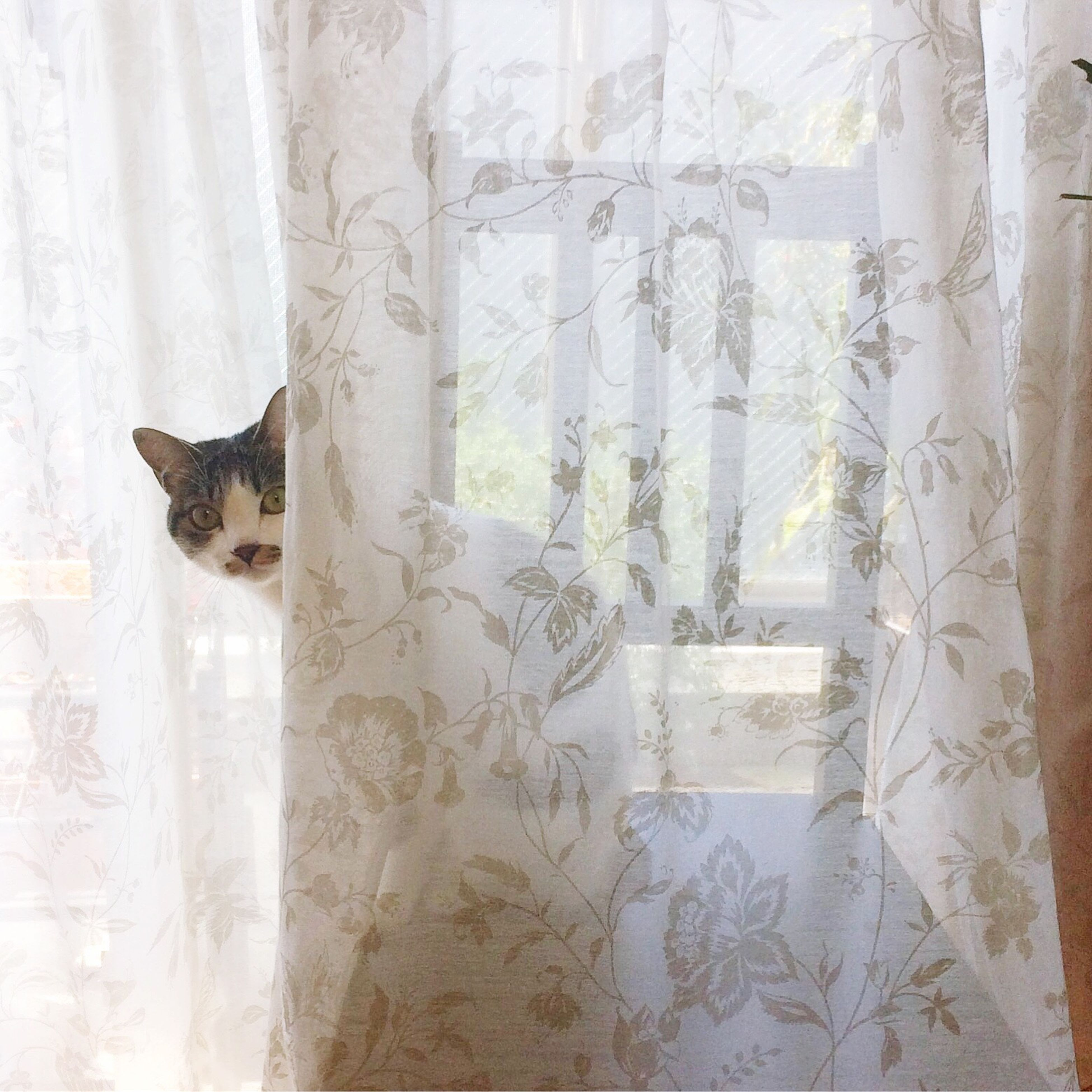 curtain, window, domestic cat, indoors, domestic animals, pets, no people, day, animal themes, mammal