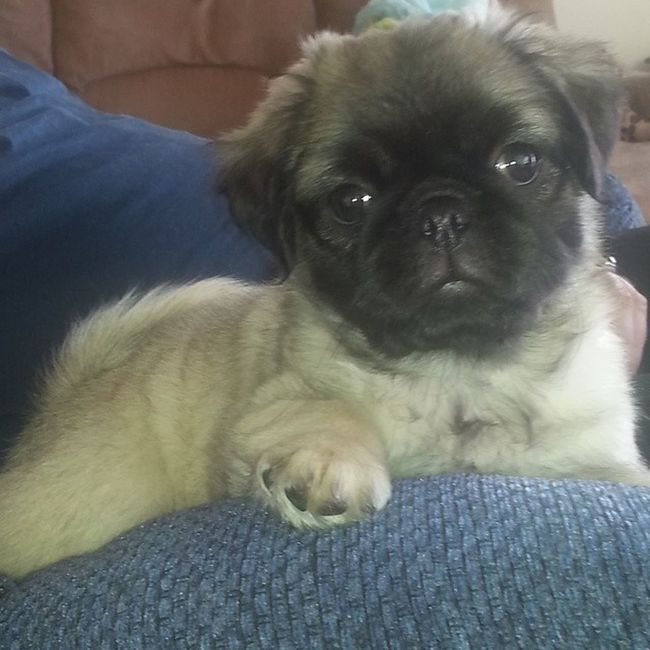 Our Pug♥Zoey-Zena