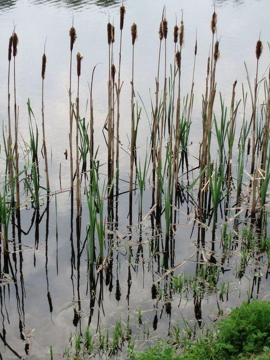 Lake Lakeshore Plant Reed Reflection Rushes Water