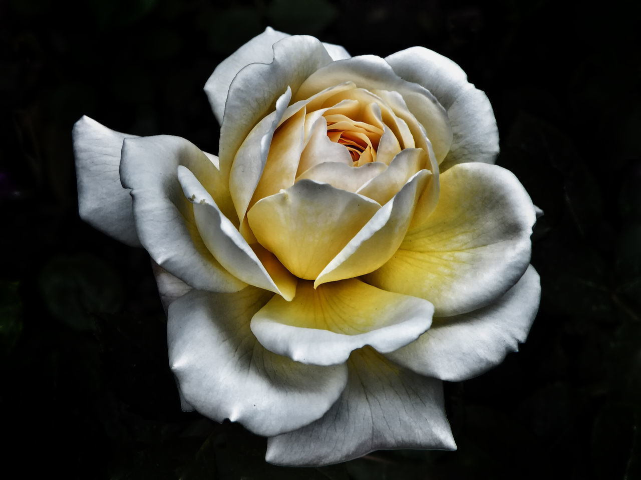 yellow rose Beauty In Nature Close-up Day Flower Flower Head Fragility Freshness Growth Nature No People Outdoors Petal Plant Roses Rosé White Rose Yellow Rose