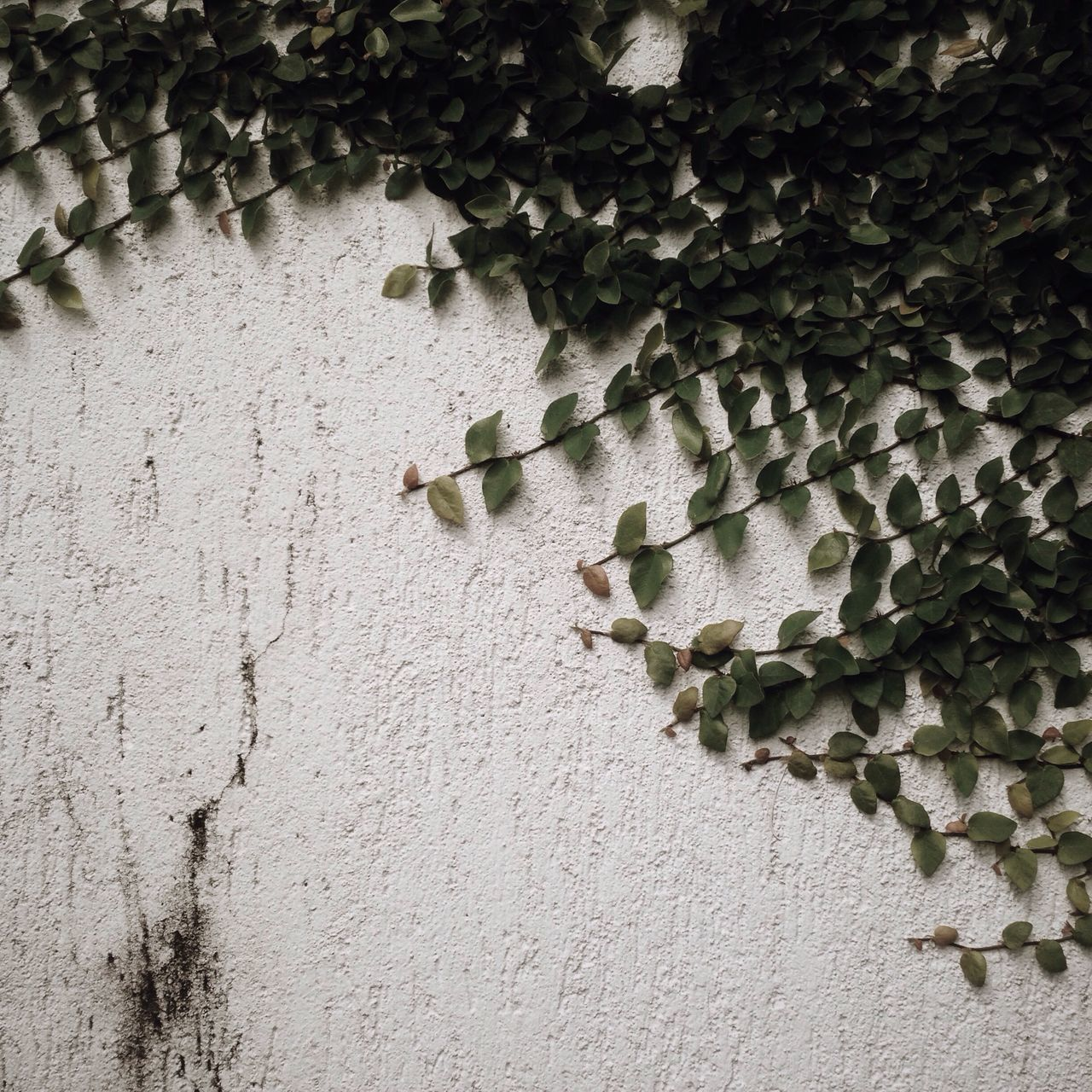 Creeper On Textured Wall