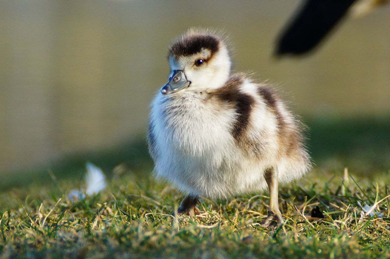 Animal Themes Beauty In Nature Close-up Cute Day Feather  Focus On Foreground Grass Nature Nile Goose Chick No People Outdoors