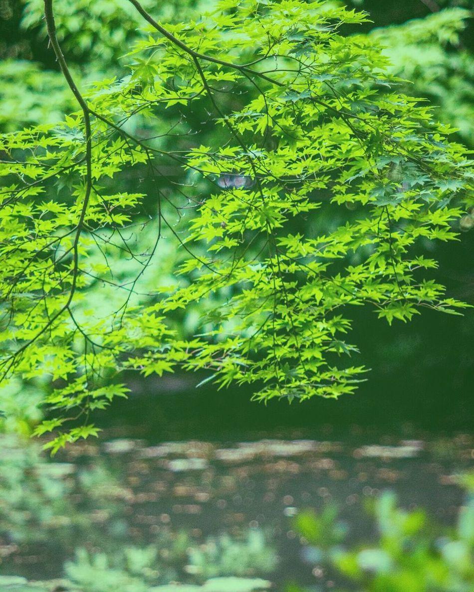 Inzai Green Nature Japan Mapleleaf Outdoors Takumar