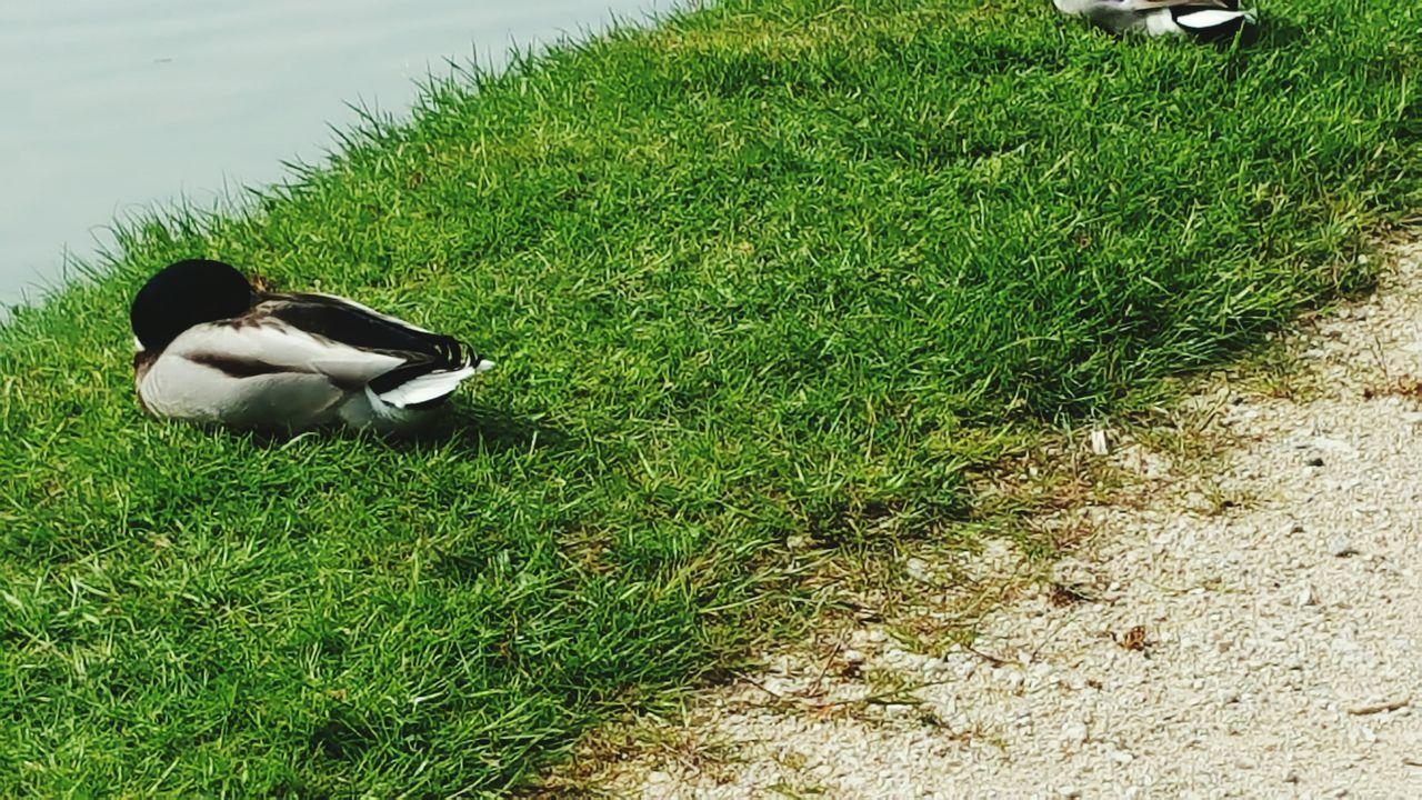 Seine Et Marne France Canard Oiseau