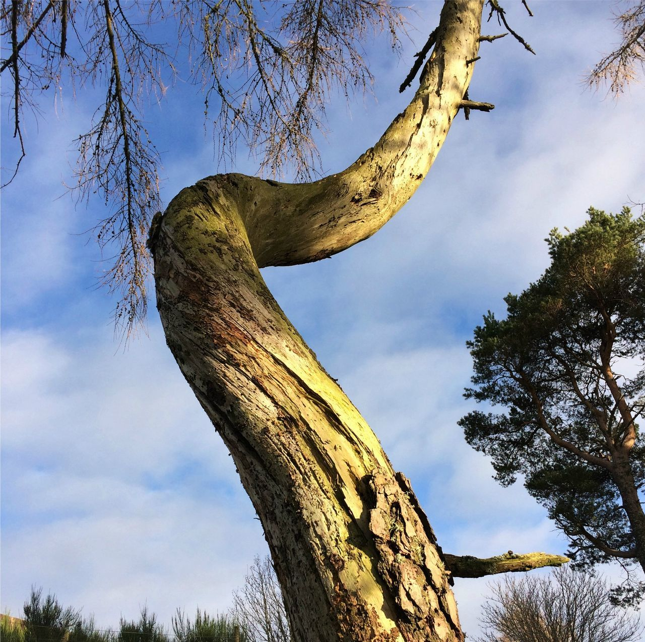 Branch Dead Tree Deadwood  Low Angle View Outdoors Sky Spiral Tree Tree Trunk Tree Trunk Twisted Tree TwistedWood Warped