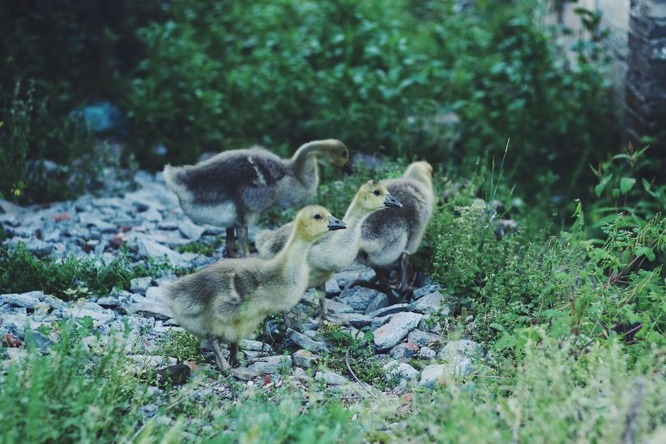 EyeEmNewHere Young Bird Animal Themes Young Animal Animals In The Wild Gosling Bird Animal Wildlife Day Nature Goose No People Field Duckling Outdoors Togetherness Grass Mammal Duck Yellow Green From My Point Of View Countryside Country Life Lifestyles