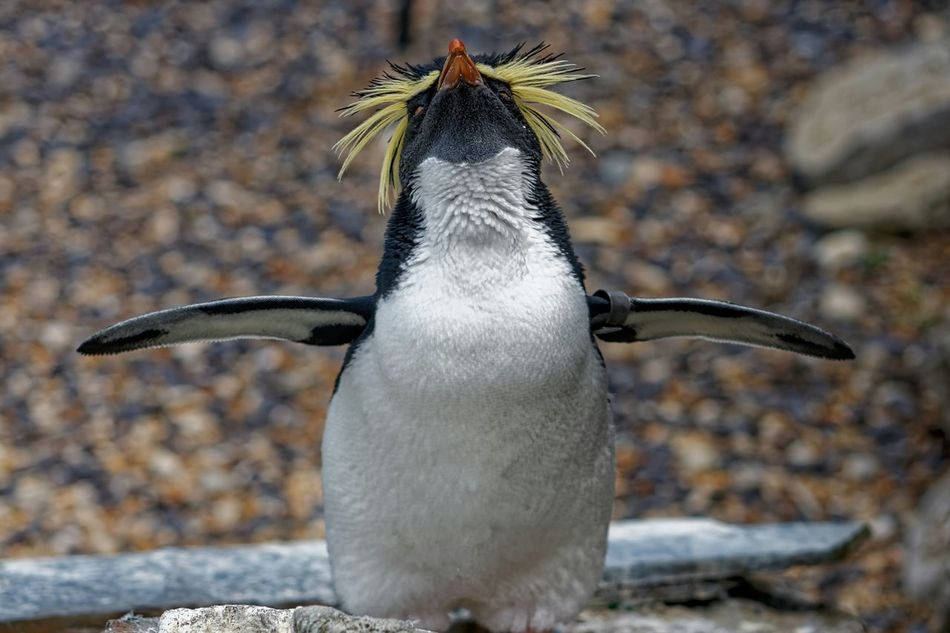 Beautiful stock photos of penguin, Animal Themes, Animals In The Wild, Day, Focus On Foreground