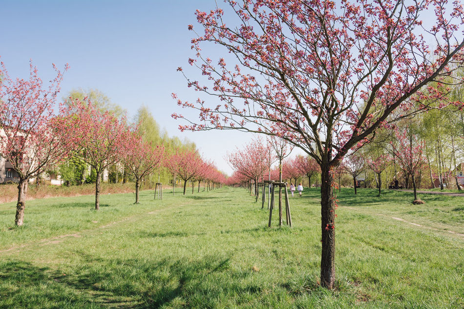 japanese cherry blossoms Autumn Beauty In Nature Berlin Branch Clear Sky Day Field Flower Grass Grassland Growth Japanese Cherry Blossoms Landscape Nature No People Outdoors Scenics Season  Sky Spring Spring 2017 Springtime Tranquil Scene Tranquility Tree