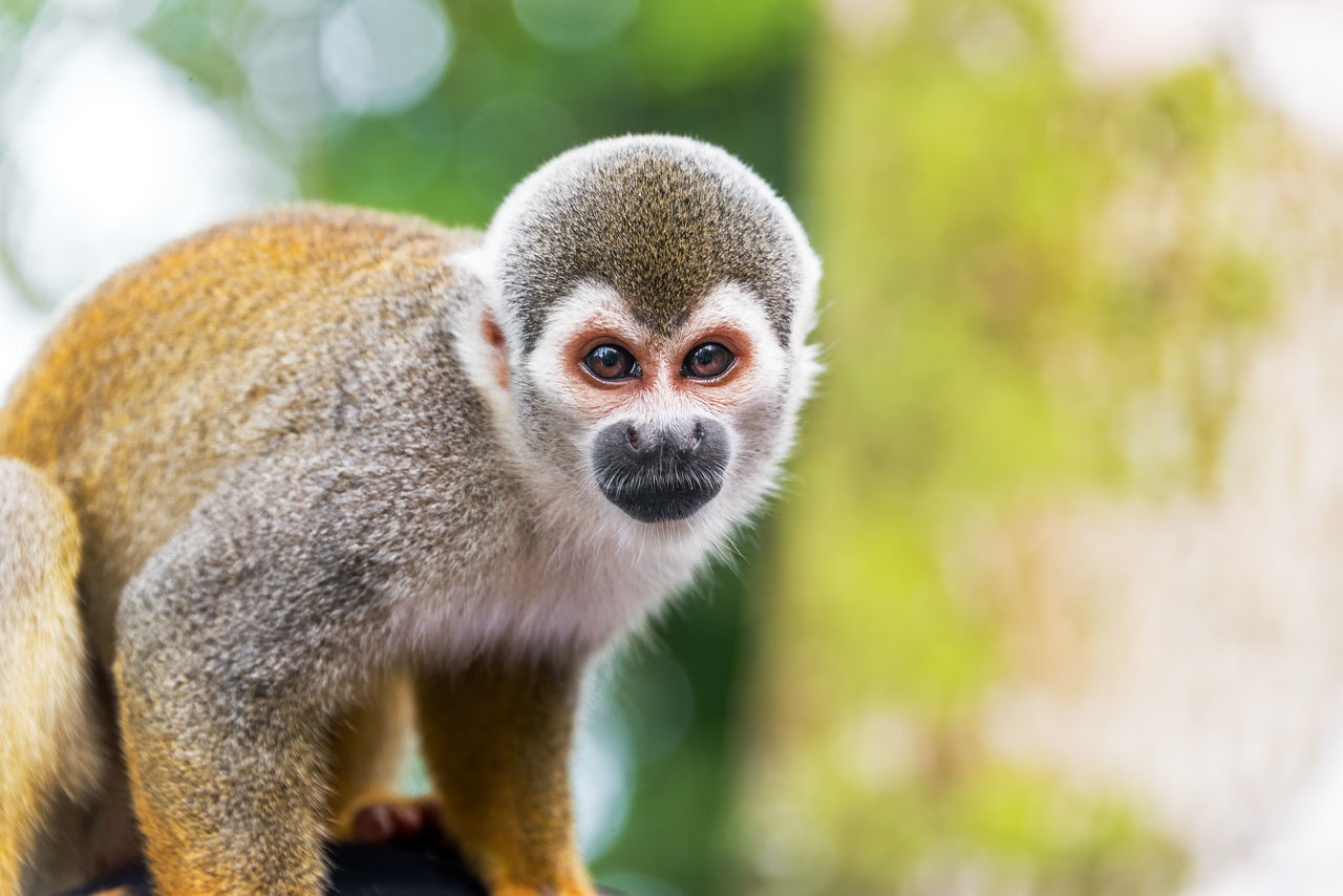Closeup of a squirrel monkey in the Amazon rain forest in Colombia Amazon Amazonas Amazonia Animal Animal Themes Animals In The Wild Colombia Common Day Jungle Leticia Looking At Camera Mammal Monkey Monkeys Nature Outdoors Portrait Primate Rainforest Saïmiri Saimiri Sciureus South America Squirrel Monkey Tree