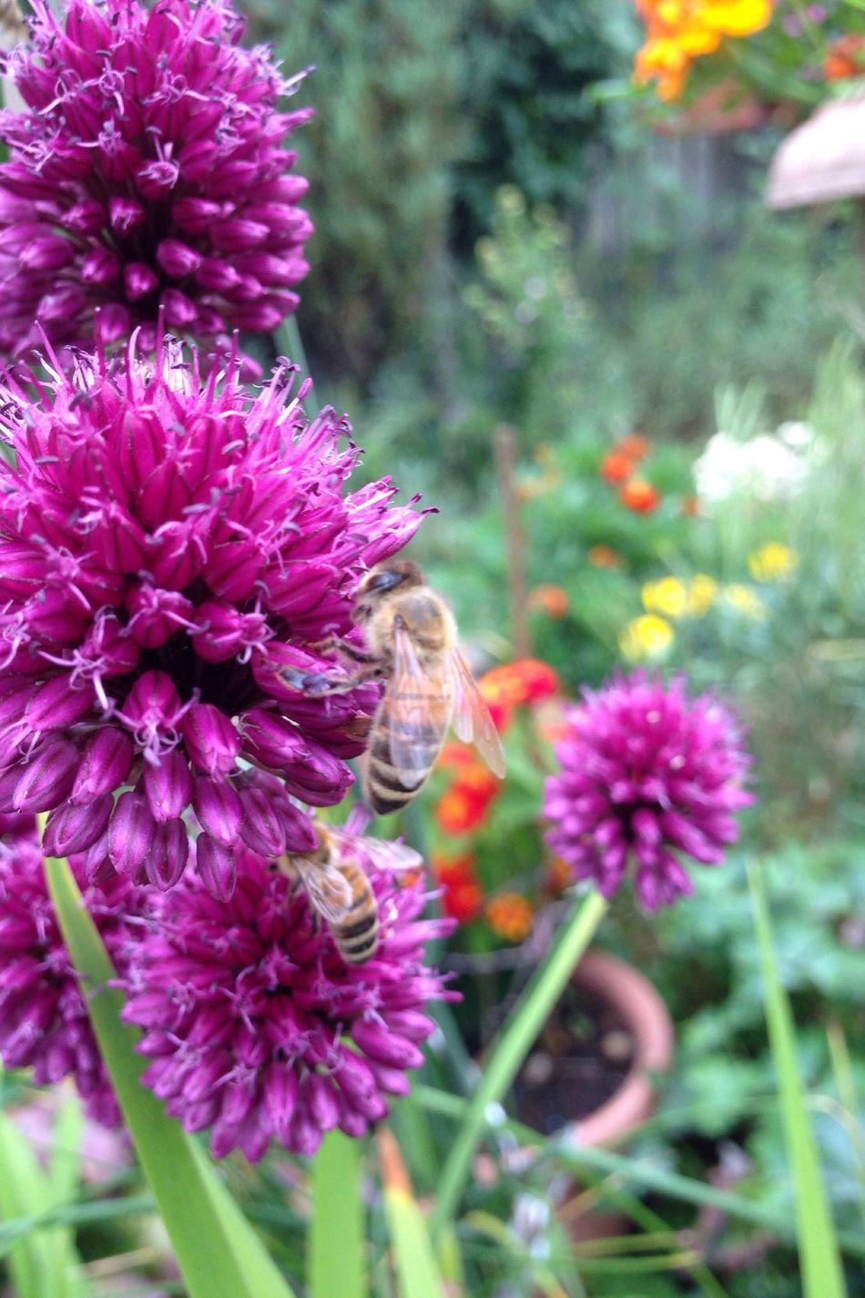 Garten Pflanze Natur Allium Sphaerocephalon Allium Flower Garden Garden Photography Zierlauch Kugellauch Lauch Wildbienen Wildbiene Wildbee Bienen Bei Der Arbeit Biene Bee Bienen  Bees Bees And Flowers