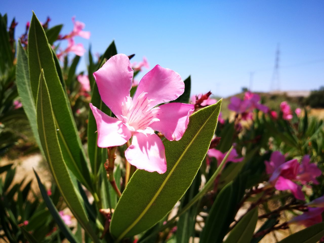 flower, petal, beauty in nature, fragility, nature, growth, freshness, leaf, plant, pink color, flower head, no people, blooming, day, outdoors, close-up, clear sky, periwinkle