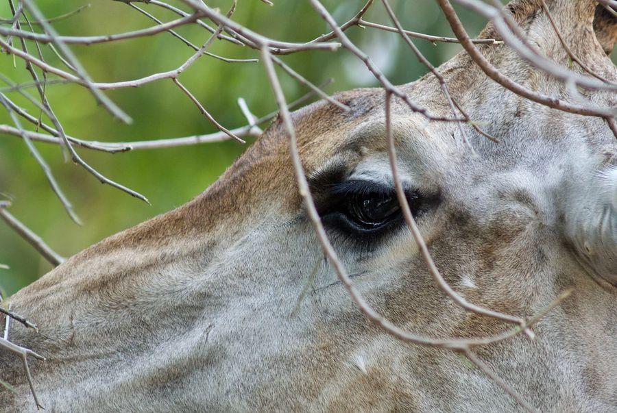 Giraffe Animal Head  Animal Themes Animals In The Wild Close-up Close-up Shot Day Domestic Animals Headshot Mammal Nature No People One Animal Outdoors