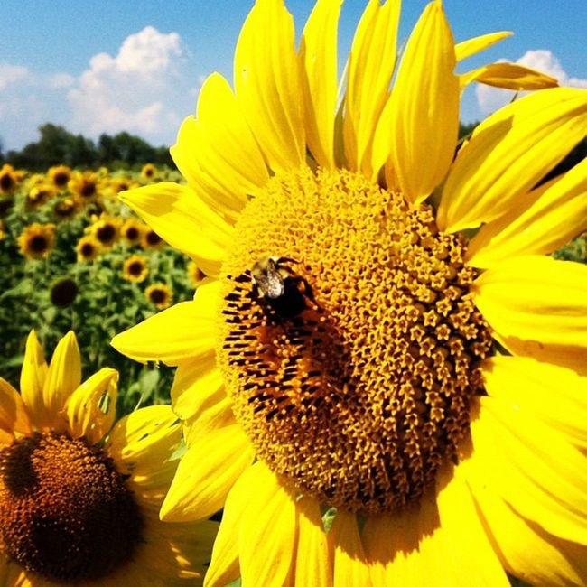 Bug Heaven. #grandisle #btv #vt Vt Btv Flowers Vt_scenery Farm Vermont_scenery Bugs 802 Iphoneonly Igharjit Photooftheday Vermontbyvermonters Picoftheday Vt_scene Vermont Vermont_scene Sunflowers Igvermont Instamood Igvt Instagood Grandisle Instagramhub Yellowmellow Webstagram Instagramjit Gmy Iphonegraphy