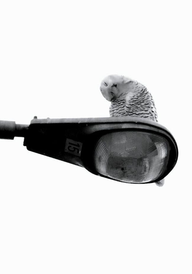 Snow Owl Owl Birds Birds Of Prey Check This Out Cute EyeEm Birds Inspiring EyeEm Best Shots Getting Inspired Beautiful White Black And White Black&white Amazing_birds