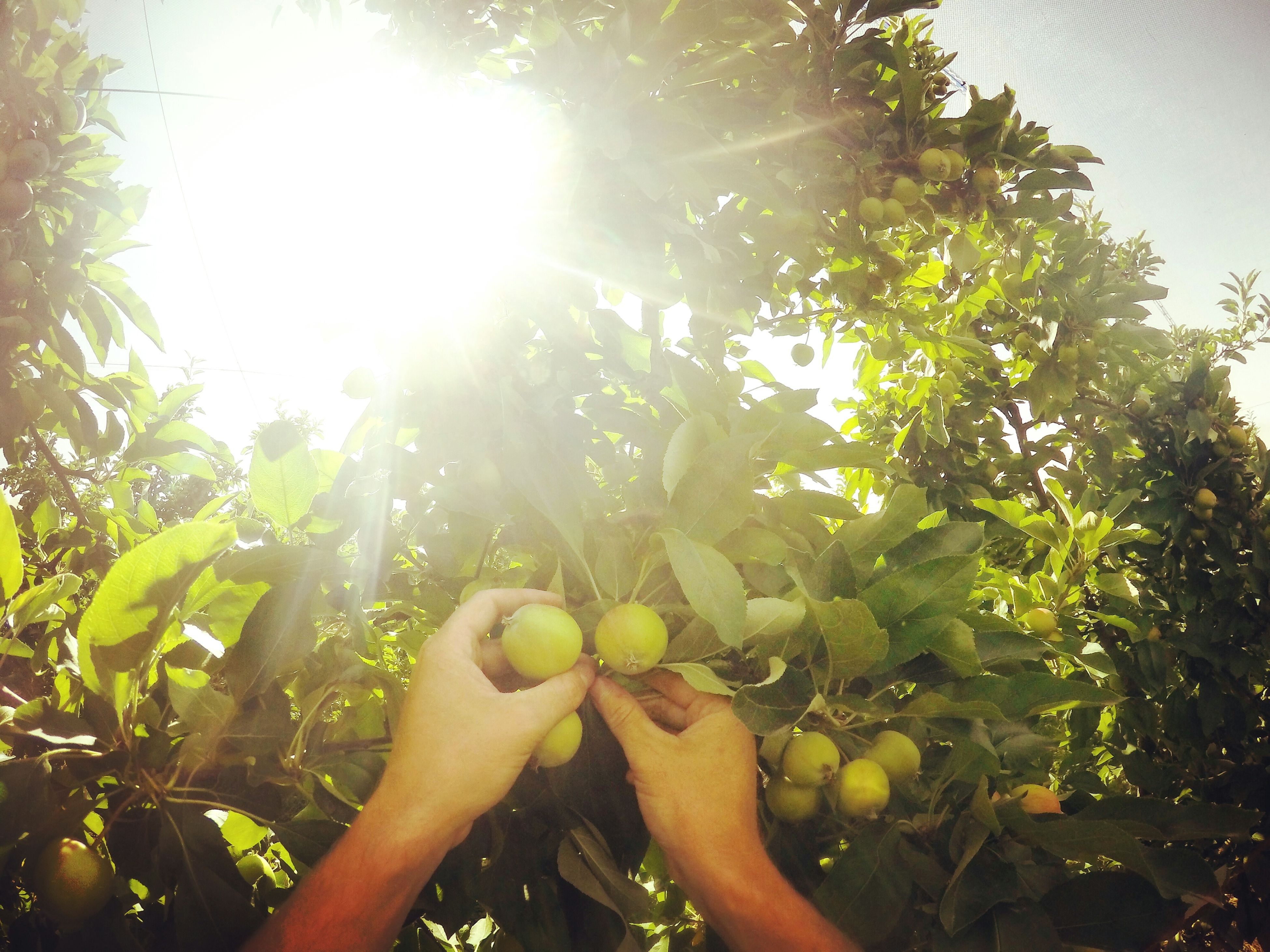 tree, sun, sunbeam, sunlight, lens flare, growth, low angle view, person, sunny, nature, branch, part of, leaf, day, bright, back lit, holding