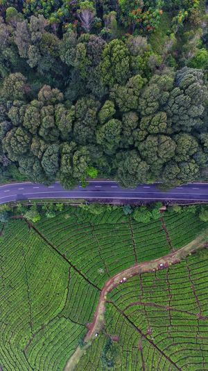 separated by the road Agriculture Tree Nature Outdoors Aerial View Dji Aerialphotography Skypixel DJI Phantom 3 DJI Phantom 3 Professional Verticalscape Vertical Panorama Vertical Landscapes Tea Garden Perspectives On Nature