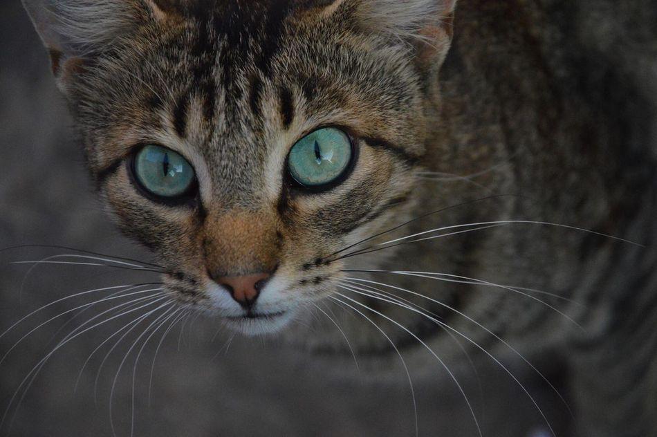 Cat Looking At Camera Pets Summer Katze Kroatien Croatia Dalmatian Dalmatia 2015  Beautiful Look Brela