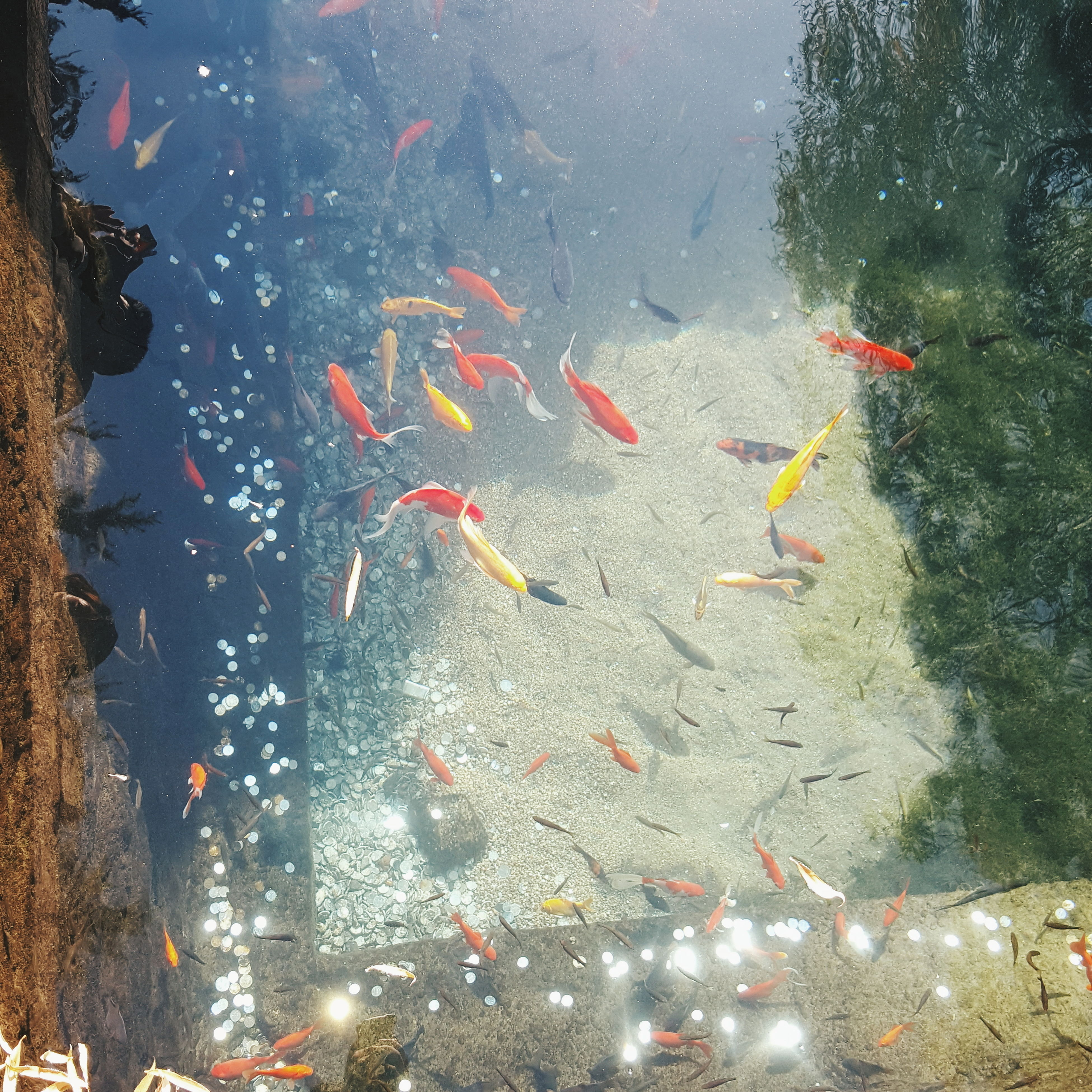 water, fish, underwater, animal themes, nature, transparent, sea life, wet, high angle view, swimming, school of fish, pond, animals in the wild, koi carp, no people, outdoors, wildlife, reflection, beauty in nature