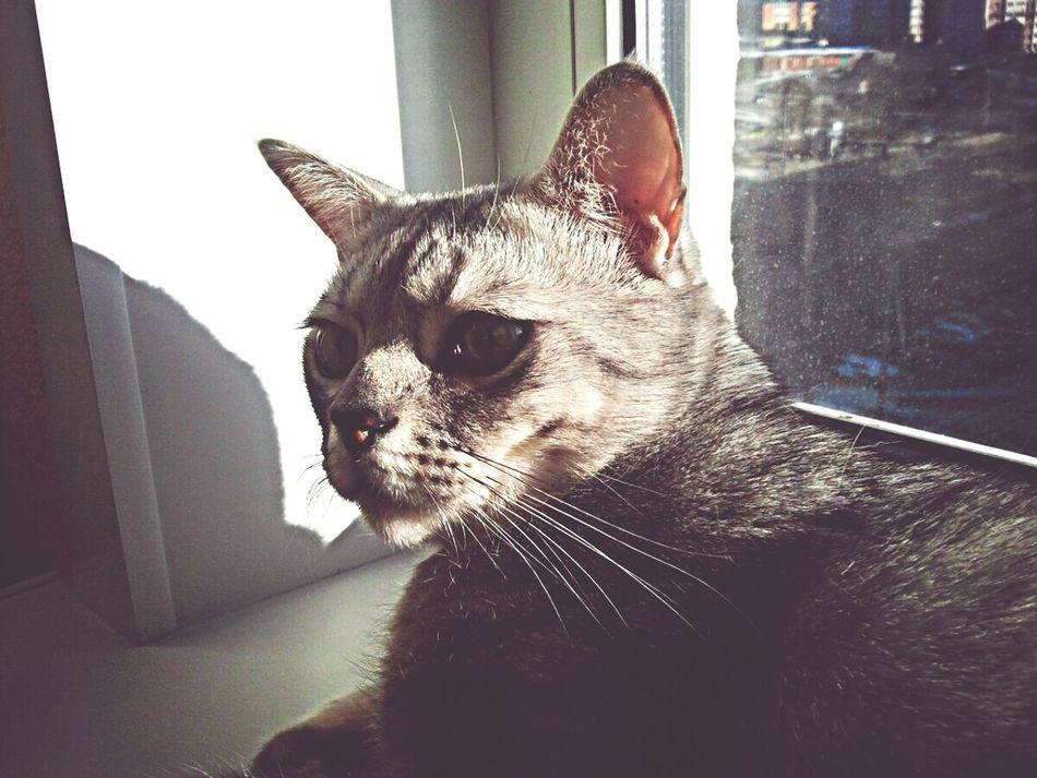 Cat♡ Bengal Cat Cat Cat Watching