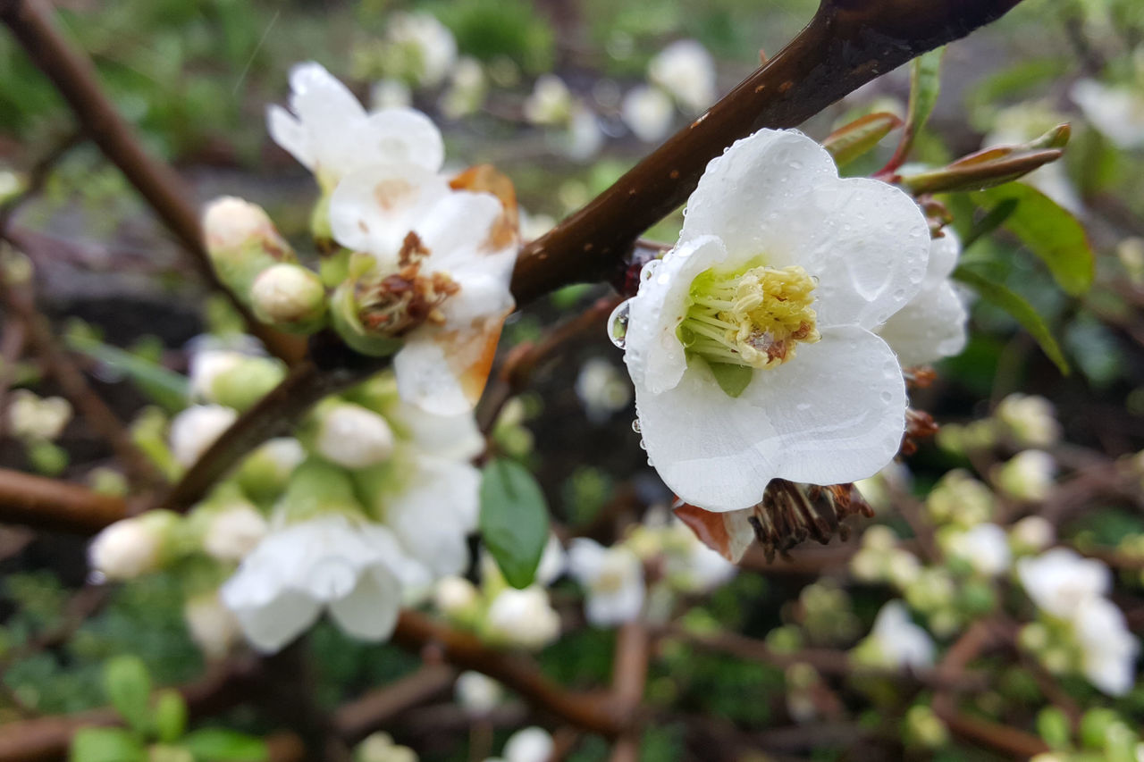 Blossom Close-up Flower Plant Quince Quince Blossom Raindrops On Flowers White Flowers